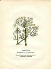 Stampa antica PIANTE DELLA BIBBIA GALBANO Bubon galbanum 1842 Old antique print