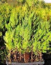 PLANTAS: 75 u. DE THUYA PARA SETO 30/40 cm