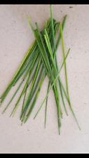 CEBOLLINO - Allium  1000 Semillas Seeds