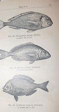 ITTIOLOGIA - Aquarium Neapolitanum 1905 Acquario Napoli Pesci Zoologia Anemoni
