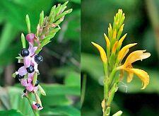 Ingwer winterhart @ Cautleya gracilis var. robusta @Ginger@ gelbe Blüte 10 Samen
