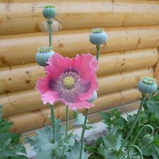 "2000 Papaver Somniferum ""PEPPERBOX"" poppy plant seeds"