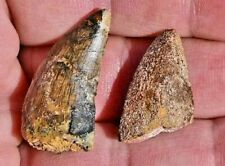 TWO Affordable Dinosaur Teeth, Carcharodontosaurus,  from Morocco  #1