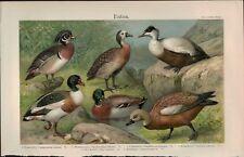 Rare 1900s Meyers Ornithology Ducks Enten Natural History Chromolithograph Print