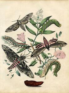 Framed Print - Vintage Victorian Picture Caterpillars & Moths (Antique Animal)