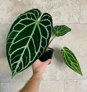 """Anthurium Crystallinum X  """"Very Rare Velvet leaf Aroid"""""""