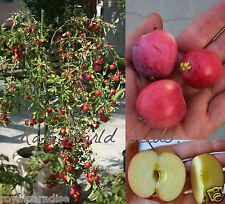5 Seeds Bonsai 'Weeping Wickson' Apple tree extraordinary sweetness Fresh Seeds