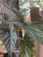 Begonia 'Summerland Sands' 3.5 inch pot.