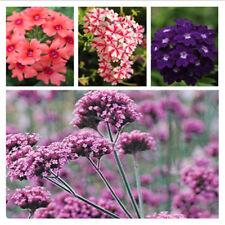100 Seeds Mix Verbena Ideal Florist Perennial Flower Seed Deer Resistant Garden