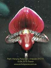 QOB Orchid RED Maudiae Paphiopedilum Hsinying Rubyweb x Impluse DY314 75mm pot