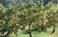 Elberta Semi-Dwarf Peach Tree - Hardy - Healthy - 1 Gallon Pot - 1 Plant