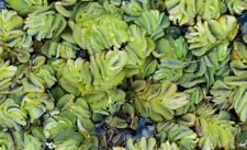 salvinia natans 4/8cm x5 plante aquarium bassin flottante