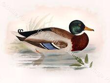 Wild Duck- Game Bird ART PRINT - FREE UK P&P