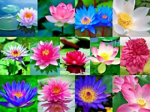 ✅Lotus Flower Lotus Seed Aquatic Plants Water Seed 10Pcs Mix Color FREE SHIPPING
