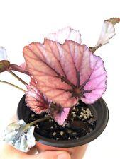 ❤️🌿 Begonia Rex 'Indian Summer' Silver Green Pink Variegated Indoor houseplant