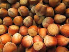 Haselnussbaum 'Ennis' - Corylus avellana - Winterharte Pflanze 150-170cm - Nuss