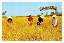 BG21243 cultivation of the rice in thailand types folklore reaping the harvest
