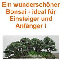 Bonsai i! CHINESISCHE ULME !i winterhart Garten Zimmerpflanze frosthart Samen