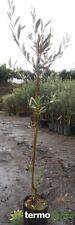 Pianta di olive olivo Albero ulivo ulivi Leccino