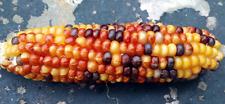 Corn Yellow Fire - One of the Most Stunning Yellow Chocolate Corn Variety!!!