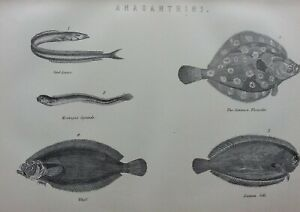 ANTIQUE PRINT C1870'S ANACANTHINI FLOUNDER COMMON SOLE WHIFF FISHING ANGLING ART