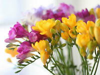 Fresh Dutch Freesia 5 or 10 Stems Choice of colours Purple White Yellow & Pink