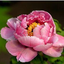 Pink Smile Flower China's Peony Seeds Paeonia suffruticosa Tree DIY Garden