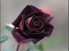 BLACK ROSE SEEDS - 5 seeds