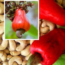 5x Cashew Tree Seeds Anacardium Occidentale Rare Tropical Plant Tree Fruit Seeds