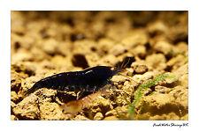 Deep Blue Tiger Orange Eyes Shrimp / Caridina cantonensis sp.
