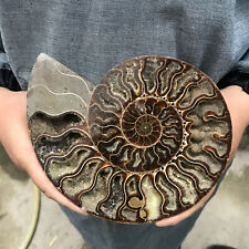 Top 1Lb+ Natural ammonite fossil conch crystal specimen healing care