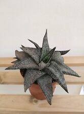 GASTERIA ELLAPHIEAE Planta Suculenta Viva 8 cm Rare Succulent