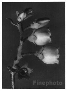 1929 Original Vintage BOTANICAL PLANT Flower Photo Gravure Art ~ KARL BLOSSFELDT