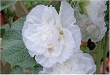 Fiore - Altea Chater Bianco - 20 Semi