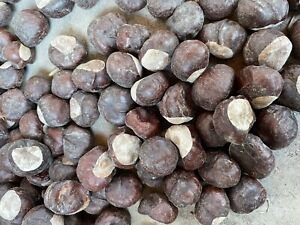 15 HORSE CHESTNUT Fresh Aesculus hippocastanum hand picked seeds 2020 NOT EDIBLE