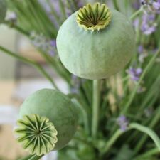The giant papaver somniferum giganteum 500 seeds 0,2 gr