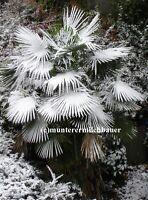 3 Hanfpalmen Trachycarpus Germanica  winterharte Selektion ca 20-25cm