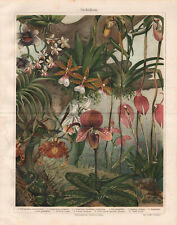 1909. ORCHIDS. Antique lithography