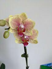 "Medium Phalaenopsis ""Picachu"" Orchid Bright Yellow Spotted Burgundy Phal Plant"