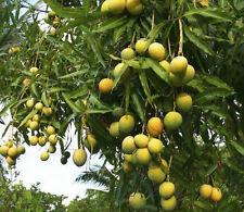 Live Alphonso Mango Plant 2 Plants 1 feet + height Fruit plant