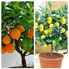 bonsai plant Orange and lemon,Heirloom Fruit each 5 seeds,Home Bonsai plant