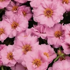 50+ SUNDIAL PINK PORTULACA MOSS ROSE SEEDS ANNUAL GROUND-COVER FLOWER SEEDS