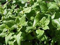 SPINACH SEED, NEW ZEALAND, HEIRLOOM, ORGANIC, NON GMO, 100+ SEEDS, TASTY SPINACH