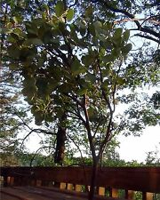 "8 Manzanita Branches Centerpieces Fresh Cut 20-24"""
