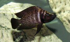 1 x Altolamprologus calvus «Black Pearl» (Lake Tanganyika Cichlid)
