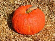 Pumpkin GOLDKEEPER-Pumpkin Seeds-SWEET AND CREAMY TASTE-20 LARGE SEEDS.