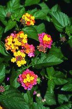 Spanish flag! Rainbow multi coloured flowers! Easy to grow! Fresh viable seeds