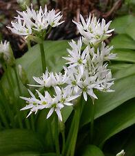 50 Graines non traitées d' AIL DES OURS Allium ursinum ail sauvage perpetuel