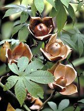 Wood Rose, MERREMIA TUBEROSA vine yellow flower morning glory Ipomoea  -15 seeds