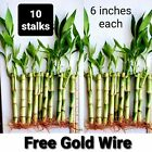 10 Lucky Bamboo Plants 6 Inches Stalks w/ Roots, Gift, Feng Shui, Free Shipping